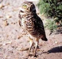 Florida Burrowing Owl