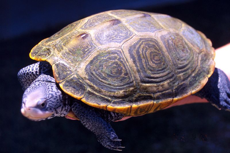 The Florida Diamondback Terrapin