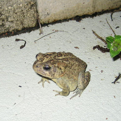 Our Florida Southern Toad